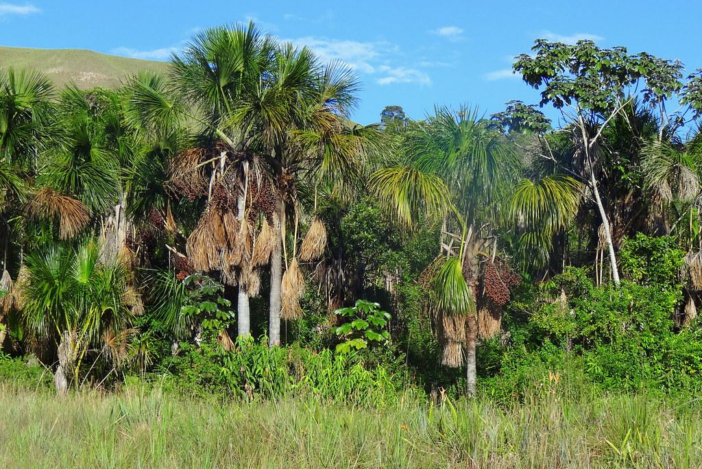 Palma Moriche Moriche Palm Mauritia flexuosa  La Palma   Flickr