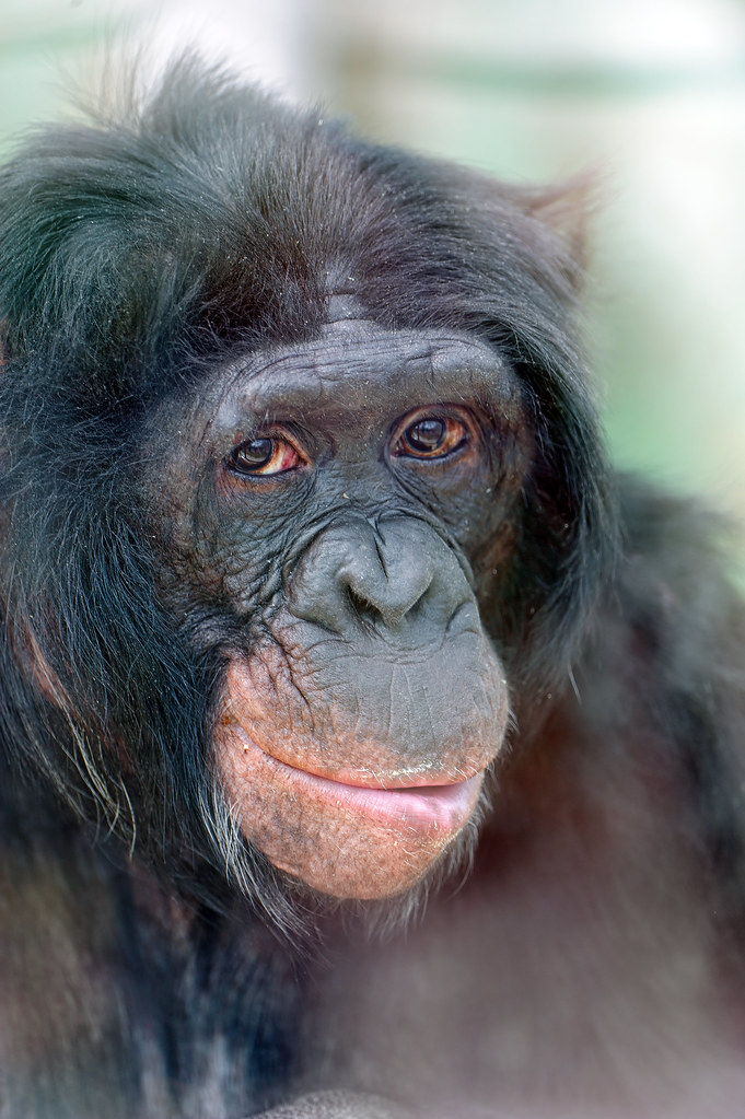 Portrait of a bonobo  Actually this is my first bonobo