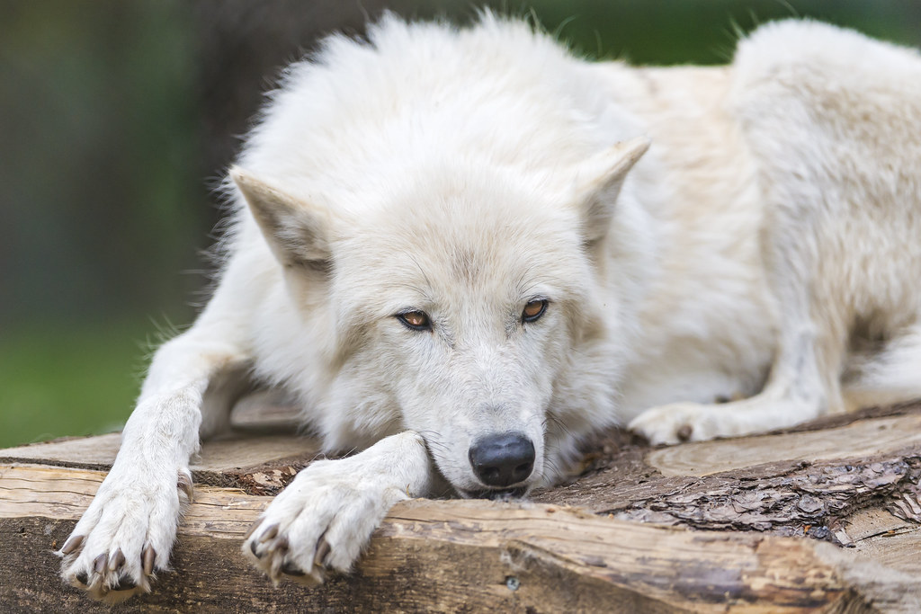 As 3d Name Wallpaper Bored Polar Wolf A Polar Wolf Relaxing In A Cool