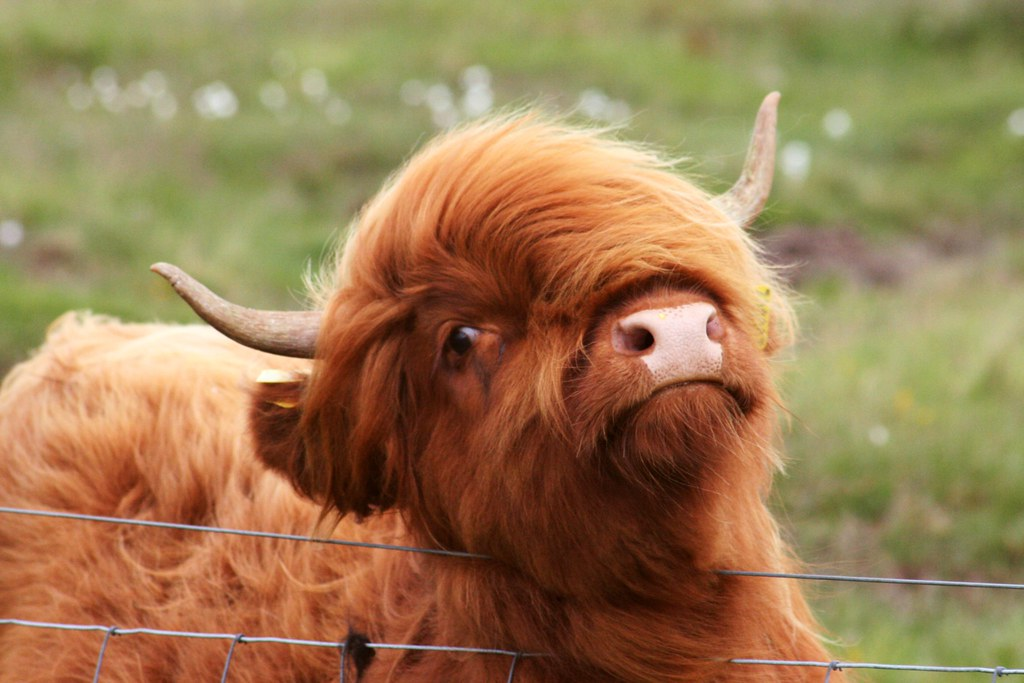 Cute Baby Pigs Wallpaper Fluffy Coo A Fluffy Heilan Coo With Very Stylish Hair