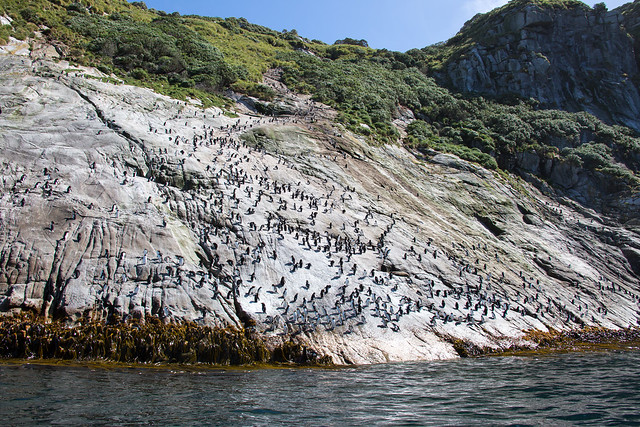 Snares Islands covered by Snares Crested Penguins