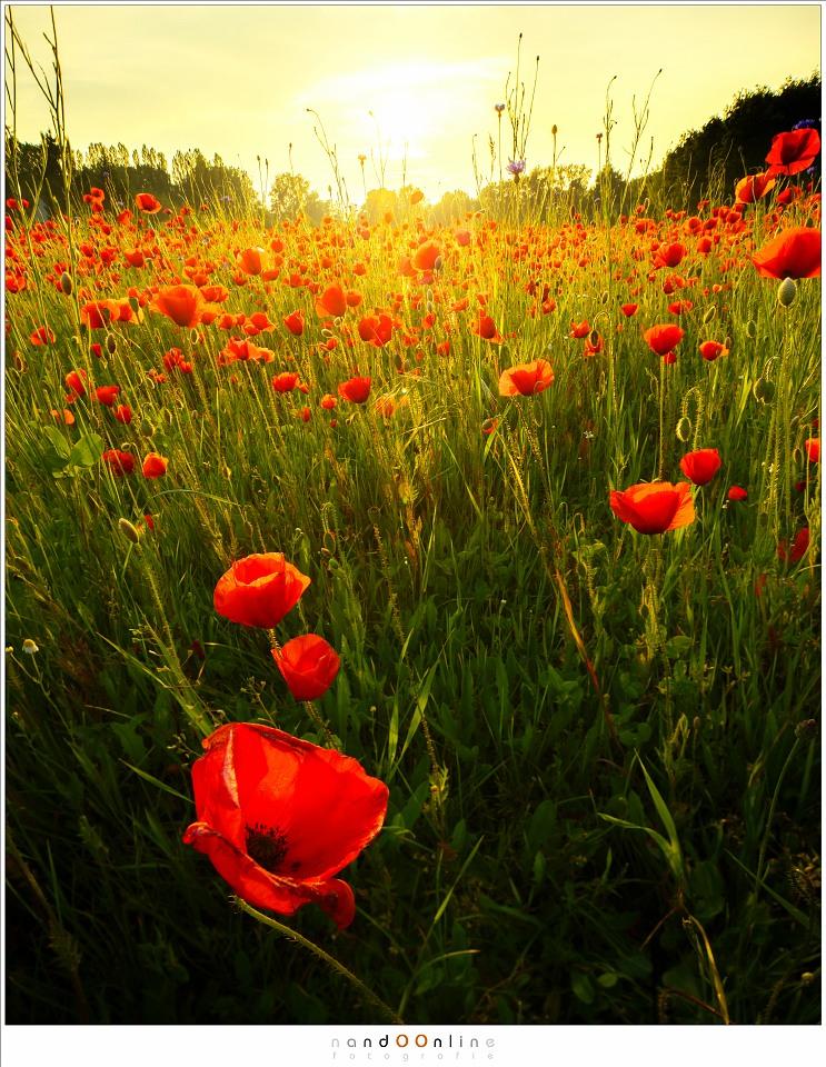 Zonsondergang in een veld vol klaprozen
