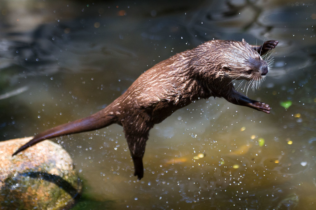 Flying Otter A Pic From A Otter Jumping For A Piece Of