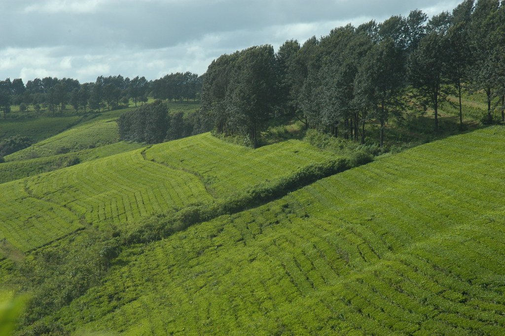 Manicaland plantation de th  Chipinge  Emmanuel