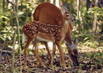Photo of doe and fawn
