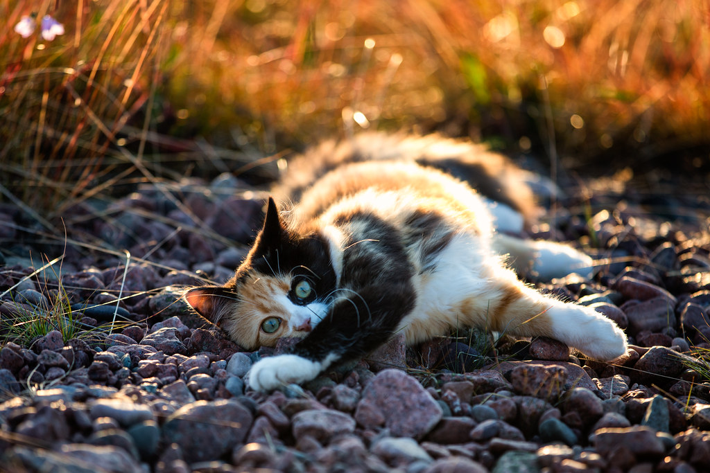 Cute Wallpapers For Mobile Desktop Calico Cat X13843 Ulf Bodin Flickr