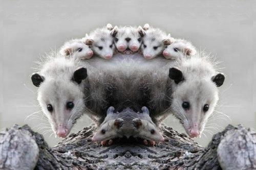 Tlacuache y sus crias  Es una imagen de la Didelphis