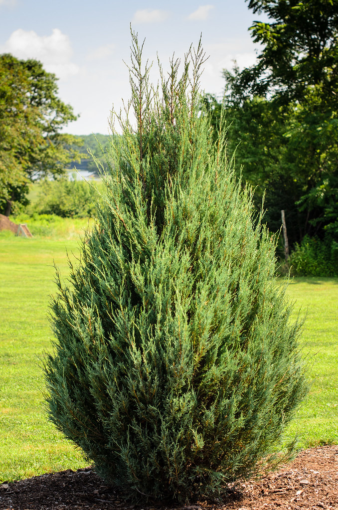 Eastern Redcedar  Juniperus virginia or Skyrocket