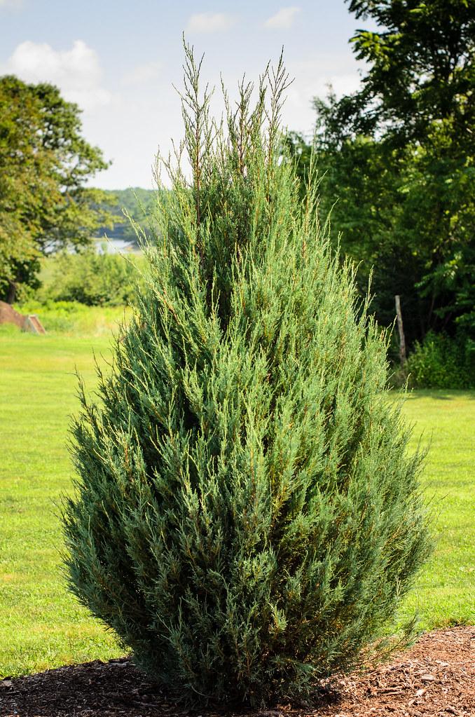 Eastern Redcedar Juniperus Virginia Or Quot Skyrocket