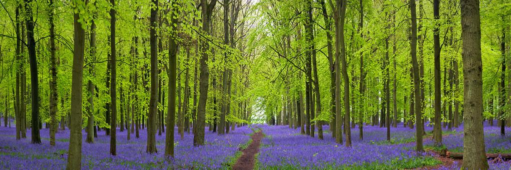 Bluebells in Dockey Wood Hertfordshire UK  The Flowerin  Flickr