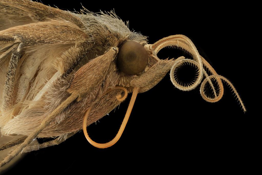 Velvetbean Caterpillar Moth Side Face 2014 06 06 11 56 3