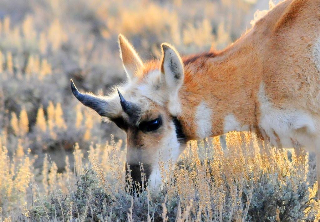 Pronghorn Buck Shed Horns The Pronghorn Antilocapra
