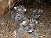 Florida Panther Kittens in Den Credit David Shindle for