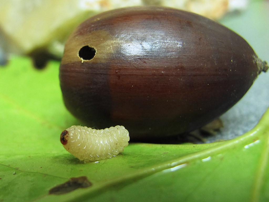 Larva de Balanino o Gorgojo de las bellotas  Curculio eleph  Flickr