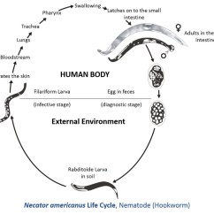 Inside Of A Worm Diagram Ezgo Txt Pds Necator Americanus Life Cycle Information By Catalina