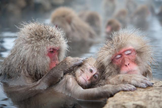 日本地獄谷野猿公苑:景點介紹,交通攻略 « 旅知部落格