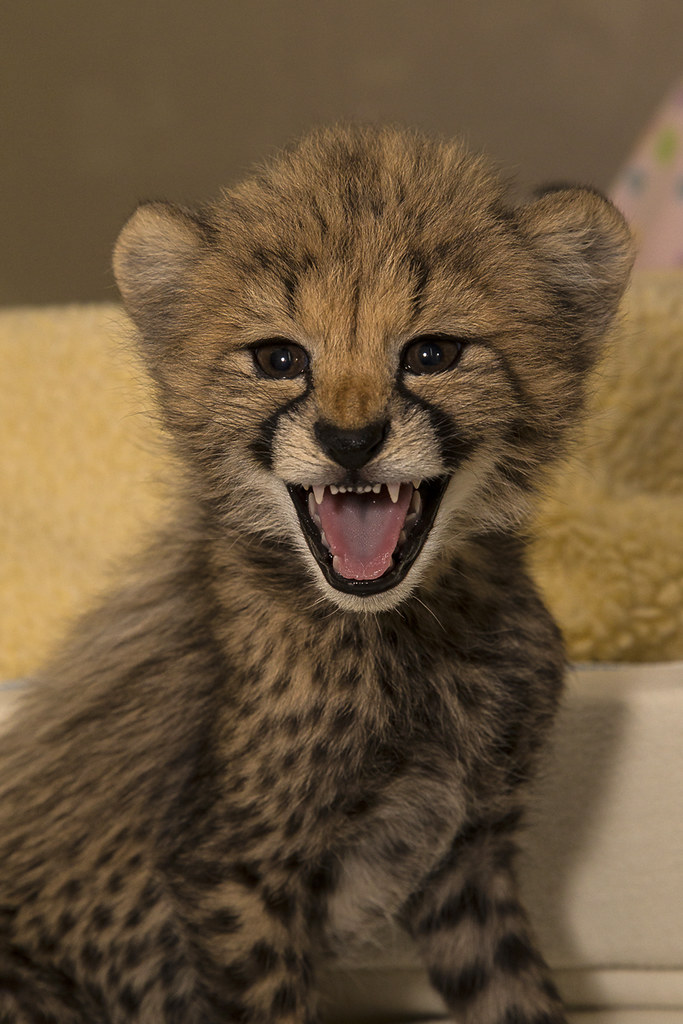 Smiling cheetah cub  These cubs with be animal ambassadors   Flickr