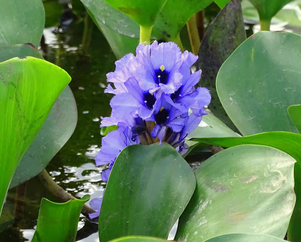 Flor de bora Jacinto de agua Water Hyacinth Eichhornia  Flickr