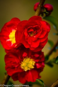 double red flowering quince
