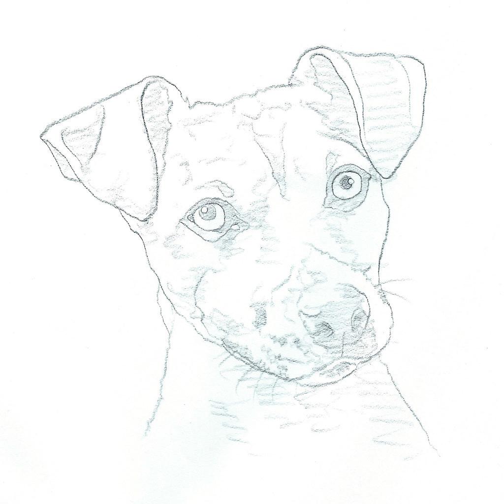 Jack Russell Terrier Sketch