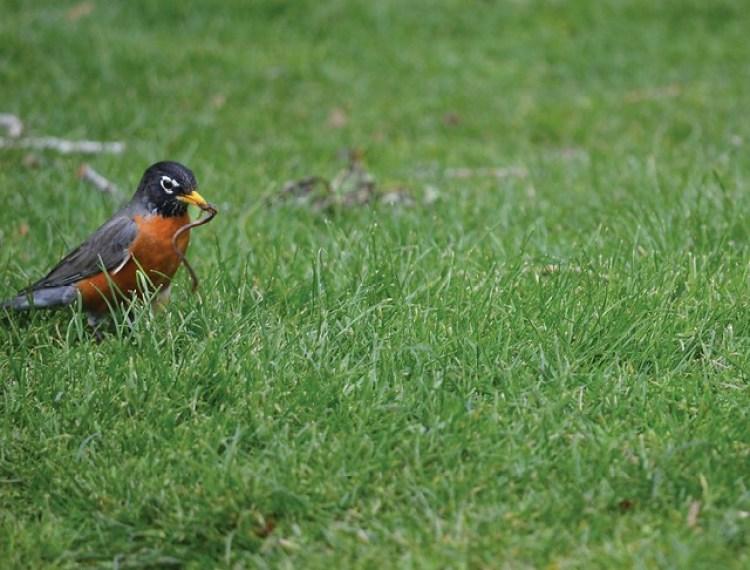 Robin3(1280x1111)