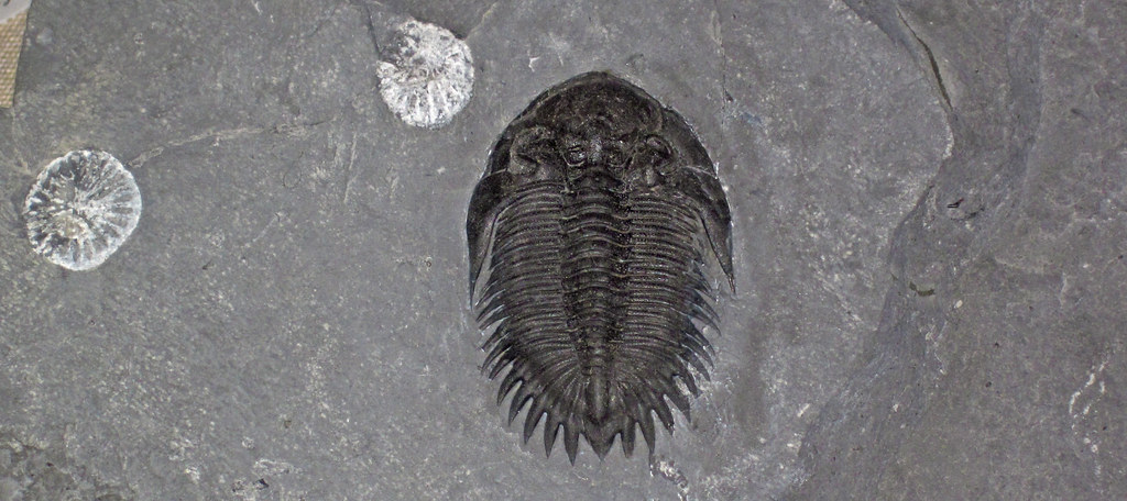 Bellacartwrightia Calliteles Fossil Trilobite Amp Rugose Cor Flickr