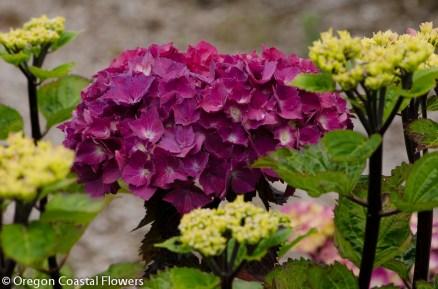 purple hydrangeas