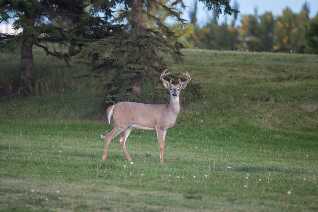 Deer off 23 Avenue