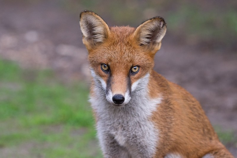 Red Fox patiently waiting for a tasty morsel...