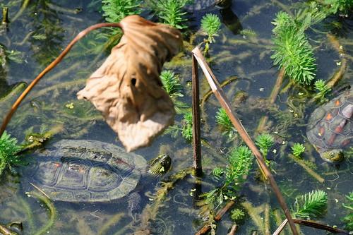 小琉球碧雲寺竹林生態池 | 大頭鼠的部落格 www.bhm.idv.tw/blog/ | Sou-Yi Yang | Flickr