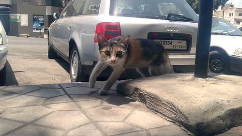A Friendly Beirut Cat