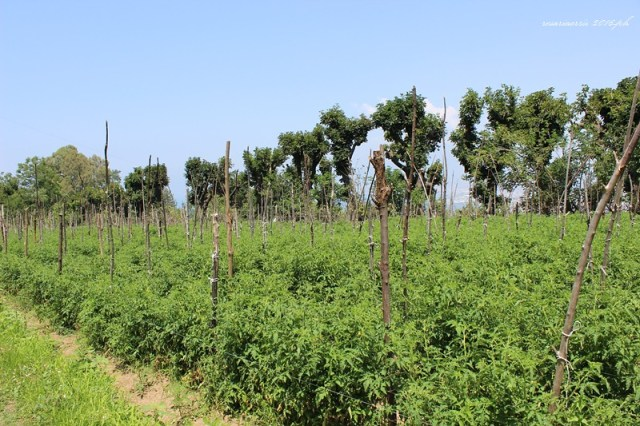 campi di pomodori 5