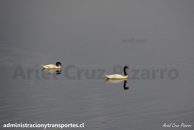 Cisnes de Cuello Negro - Aituy - Chiloé