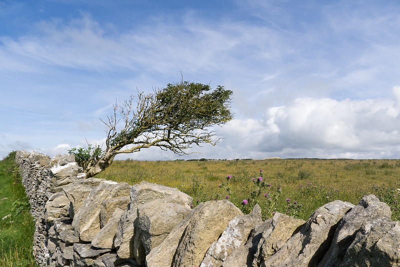 Wind-blown Hawthorn and drystone wall, Langton Matravers