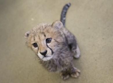 cheetahs are heading towards