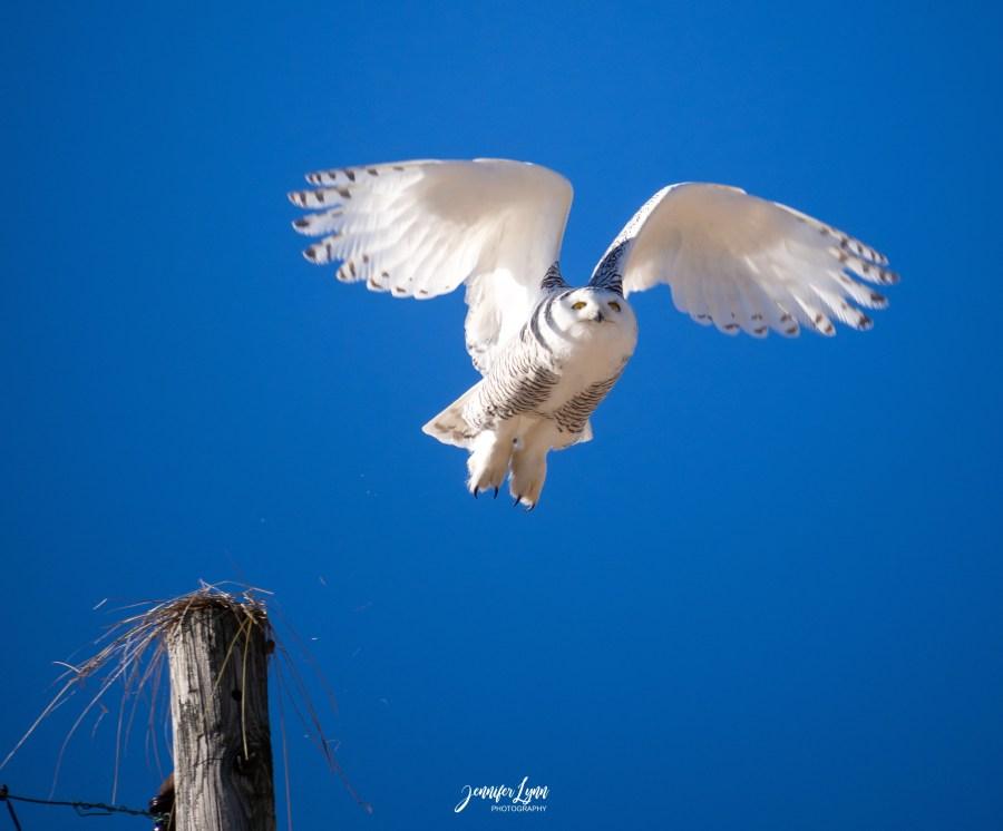 Owl in Flight image by Jennifer Christensen