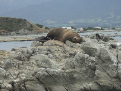 seals on the rocks at Kaikoura, South Island, New Zealand - the tea break project solo female travel blog
