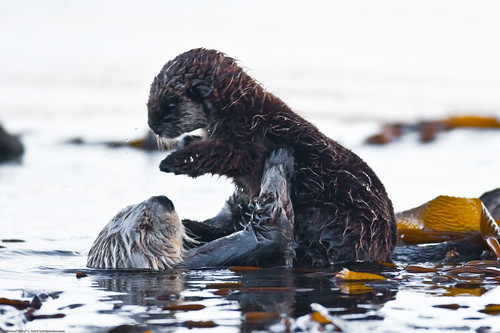 Cute Ducks In Water Wallpaper Mother Mom Sea Otter Holds Pup 7 Of 9 Sea Otter Enhydra L