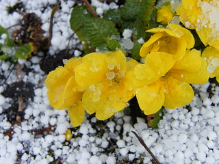 Primulas and graupel
