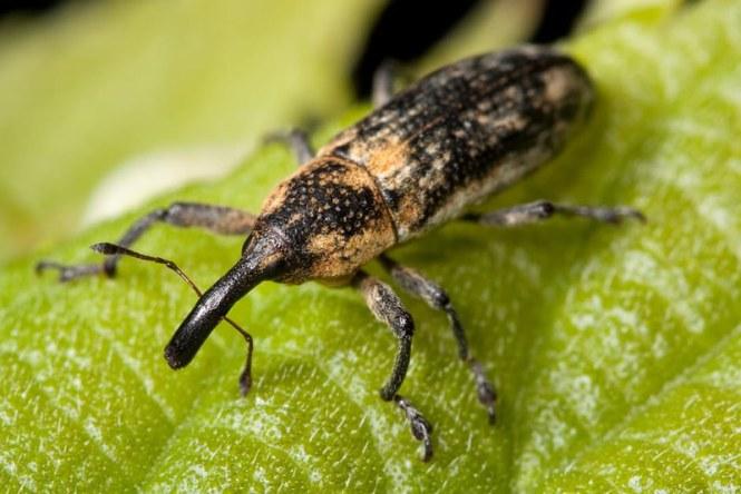 weevil-bug-insect-lixus-scrobicollis-45236