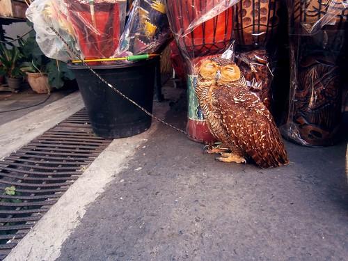 Owl at Tanah Lot Bali