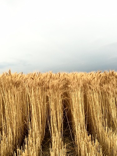 The wheat is rather tall.