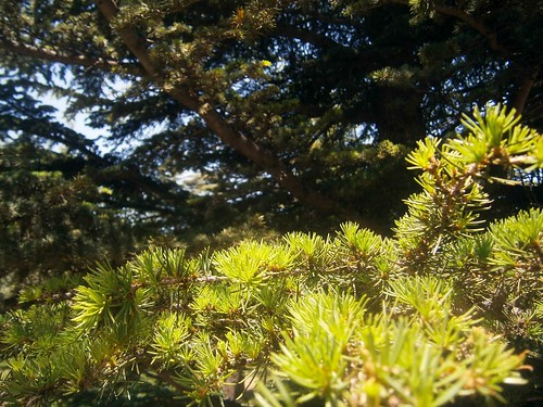 Pine Needles at Cedar of Gods