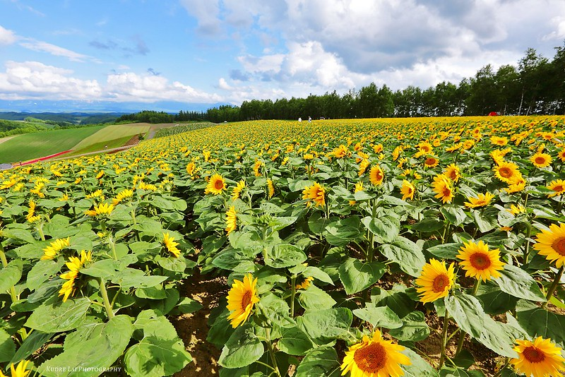 千百朵陽光燦爛(sunflower)