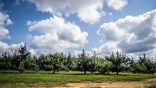 Apple Orchard on Howard Gap Road