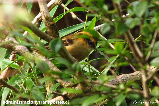 Rayadito de Chiloé (Aphrastura spinicauda fulva) | Parque Nacional Chiloé
