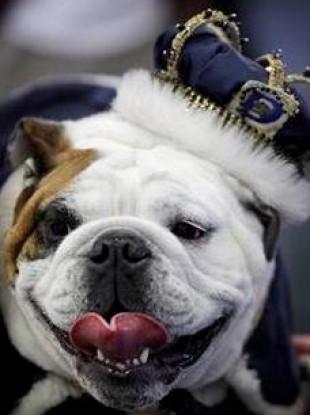 Beautiful Bulldog Contest Winner Gives Good Face