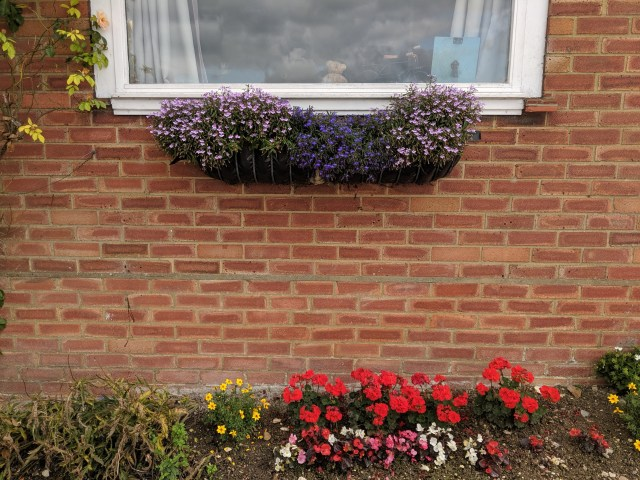 Lobelias in window container, Rose climbing on the side, red Geraniums, red-pink-white Begonias, white Mustard and yellow Spanish needles in the flower bed.
