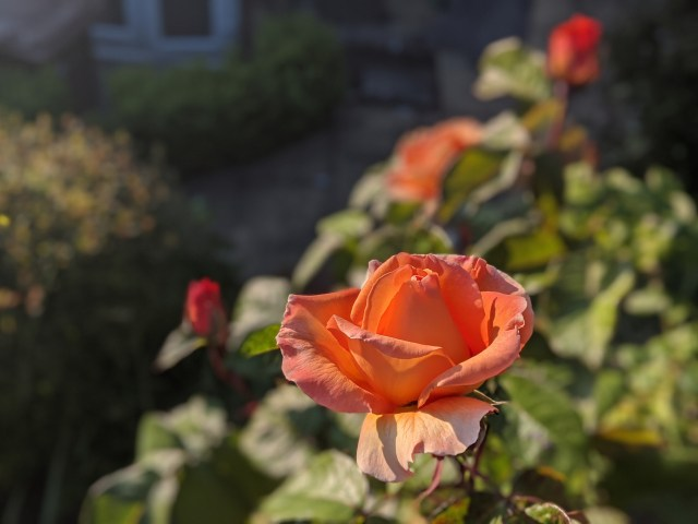 The early orange roses in yesterday's evening light, and today's morning light