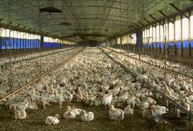 élevage poulet